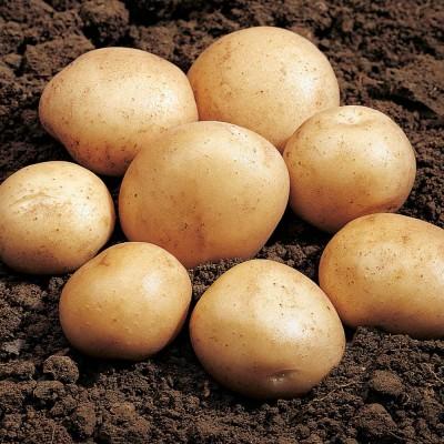 Rocket 2 kg Seed Potatoes