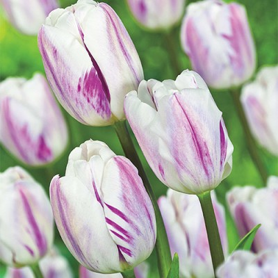 Tulip Flaming Flag 20 Bulbs