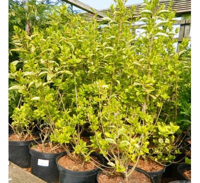 Essential Hedging - Golden Privet (Lingstrum Ovalifolium 'Aureum') Pot