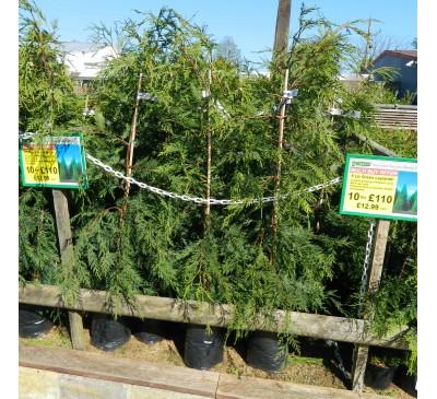 Essential Hedging - Green Leylandii 5L Pot