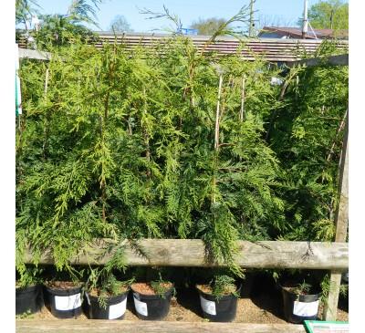 Essential Hedging - Green Leylandii 2L Pot