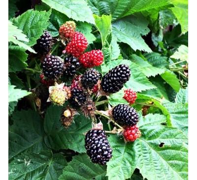 Rubus Fruticosus Blackberry Adrienne 3 Ltr Pot