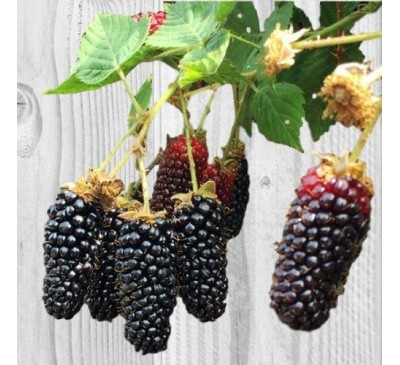 Rubus Fruticosus Blackberry Karaka Black 3 Ltr Pot