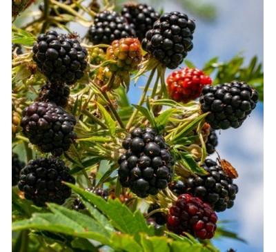 Rubus Fruticosus Blackberry Oregon Thornless 3Ltr Pot