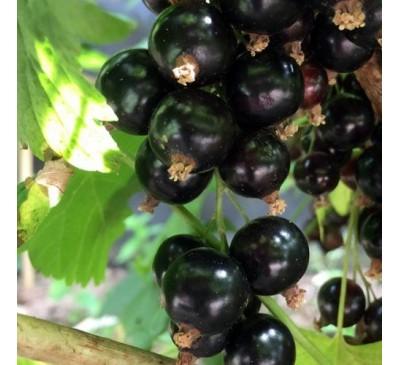Ribes Nigrum Blackcurrant Ben Lomond 3 Ltr Pot