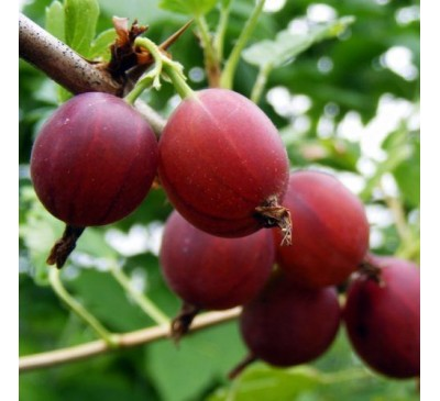 Ribes Uva-Crispa Gooseberry Captivator 3 Ltr
