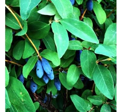 Lonicera Caerulea Edulis Honeyberry Blue Banana 3 Ltr Pot