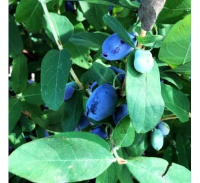 Lonicera Caerulea Edulis Honeyberry Boreal Beauty 3 Ltr Pot