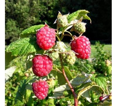 Rubus Ideaus Raspberry Autumn Bliss 5 canes 3 Ltr Pot