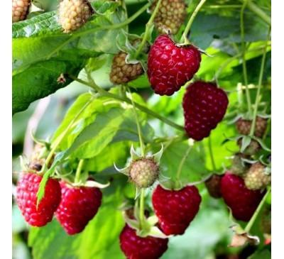 Rubus Ideaus Raspberry Heritage 5 canes 3 Ltr Pot