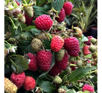 Rubus Ideaus Raspberry Joan J 5 canes 3 Ltr Pot