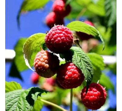 Rubus Ideaus Raspberry Octavia 5 canes 3 Ltr Pot