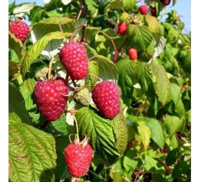 Rubus Ideaus Raspberry Polka 5 canes 3 Ltr Pot