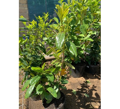 Essential Hedging - Laurel (Prunus Laurocerasus') 3ltr Pot