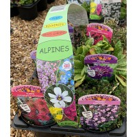 6 Alpine Plant Starter Pack