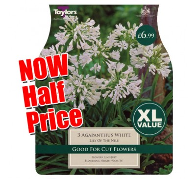 Taylors Bulbs Agapanthus White Lily of the Nile Bulbs SALE