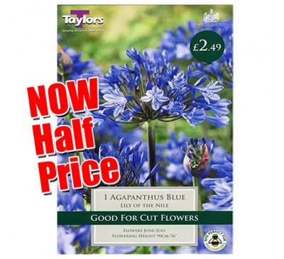 Taylors Bulbs Agapanthus Blue Lily of the Nile Bulbs SALE