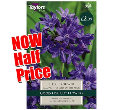 Taylors Bulbs Agapanthus Dr Brouwer Lily of the Nile Bulbs SALE