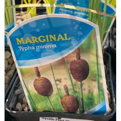 Aquatic Plants - Marginals 9cm