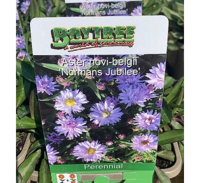 Essential Perennials - Aster Novi-Belgii Normans Jubilee
