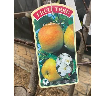 Fruit Tree Apple - Blenhiem Orange