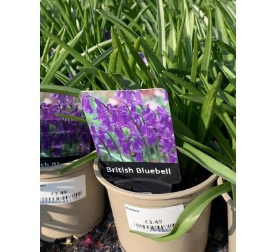 Essential Plants - British Bluebell Plants 10cm pot