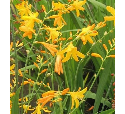 Crocosmia Selection