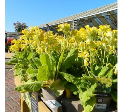 Native Cowslip 'Primula veris' 1L Pot