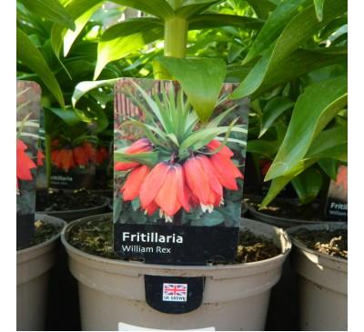 Essential Shrubs - Fritillaria 'William Rex' 3L Pot