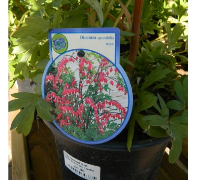 Essential Shrubs - Bleeding Heart 'Dicentra spectabilis Rose' Pot