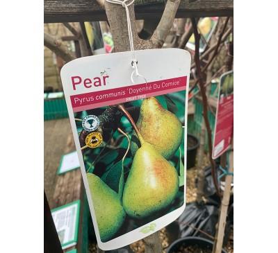 Fruit Tree Pear - Doyenne Du Comice
