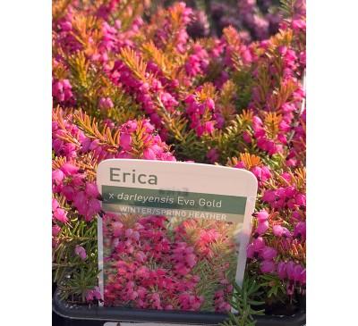 Heather - Erica X Darleyensis Eva Gold 9cm