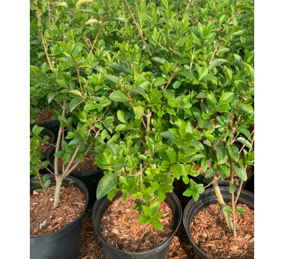 Essential Hedging - Green Privet Ligustrum Ovalifolium