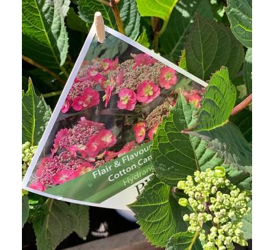 Hydrangea Cotton Candy