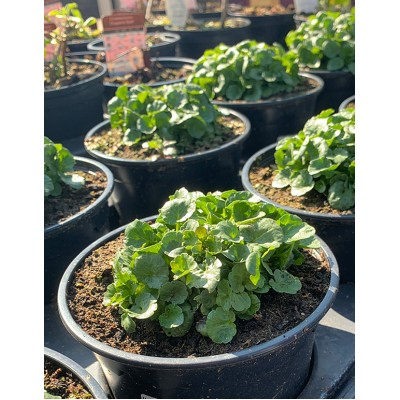 Baytree Hardy Perennials 1ltr *3 For £10
