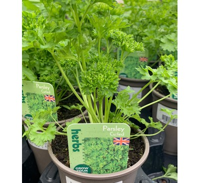 Herb Plants Parsley 9cm