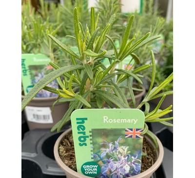 Herb Plants Rosemary 9cm