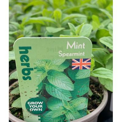 Herb Plants Mint 9cm