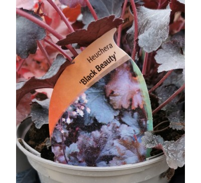 Heuchera 3 for £12