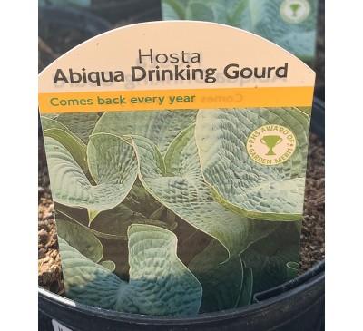 Hosta Abiqua Drinking Gourd 2 for £10