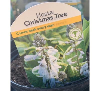 Hosta Christmas Tree 2 for £10