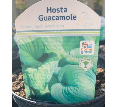 Hosta Guacamole 2 for £10