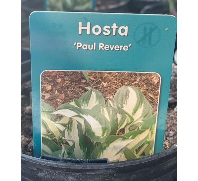Hosta Paul Revere 2 for £10