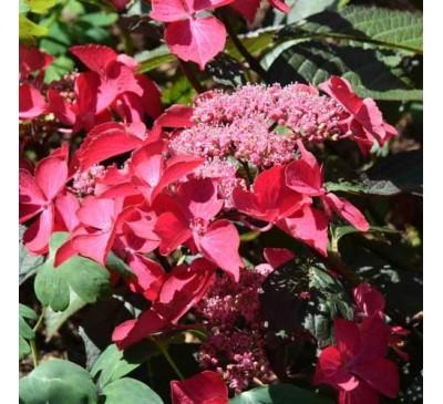 Essential Shrubs - Hydrangea Macrophylla Selina