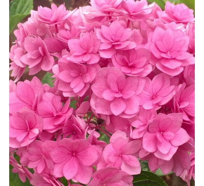 Hydrangea Forever Pink
