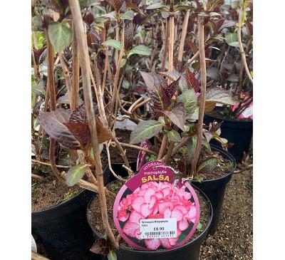 Essential Shrubs - Hydrangea Macrophylla Salsa