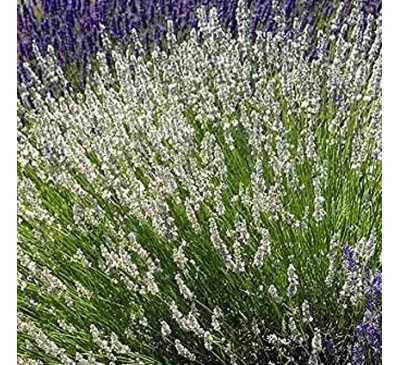Lavender Edelweiss 1 ltr