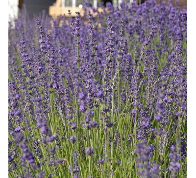 Lavender Twickle Purple 1 ltr