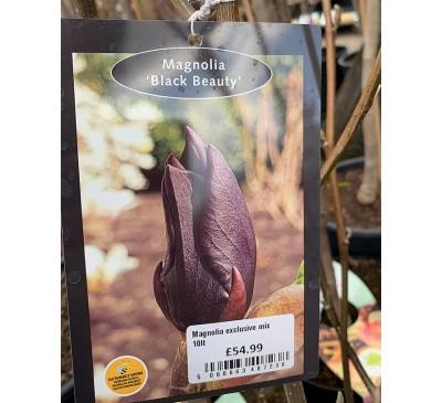 Essential Trees - Magnolia Black Beauty