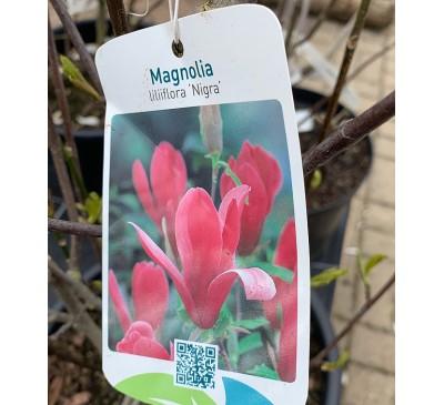 Essential Trees - Magnolia Liliiflora Nigra